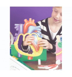 Model of Human Heart - Foam