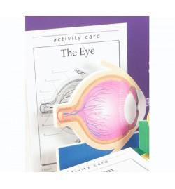 Model of Human Eye - Foam