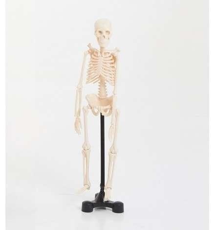 Μικρό Μοντέλο Σκελετού 46cm